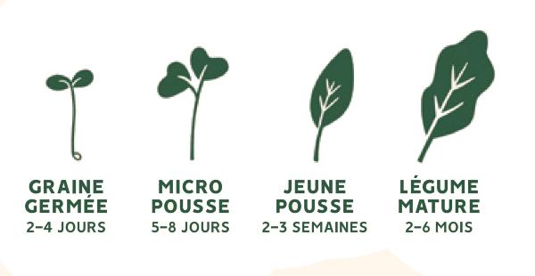 schéma de croissance du légume
