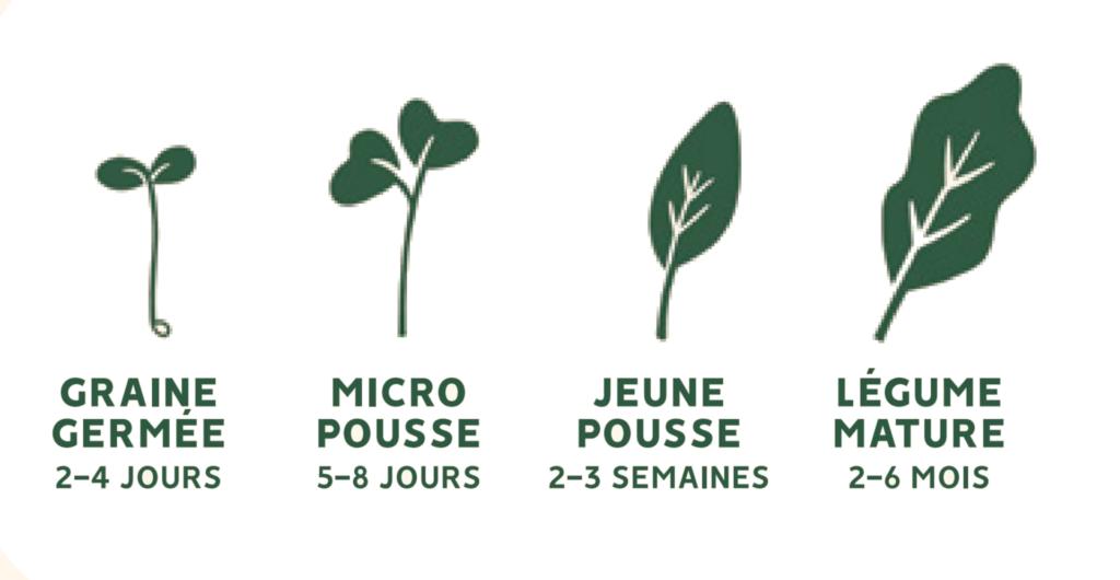 schéma de croissance d'un légume